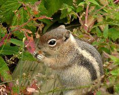 Ground Squirrel - Echo Lake Colorado