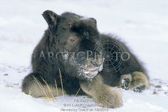Image of month-old baby muskox, ovibos moschatus, banks island, northwest territories, arctic canada by ArcticPhoto