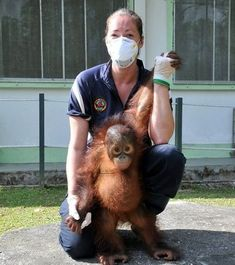 Volunteer Ann Towse and baby Orang Utan on the Sepilok Care and Rehabilitation Project in Malaysia