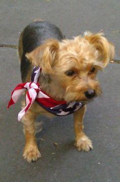 Celebrating America! My little Sophie (yorkie poo)