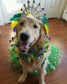 """311 Likes, 23 Comments - Willow the Golden Puppy (@golden_willow_puppy) on Instagram: """"I know you probably can't resist throwing beads at me, but can I just request the purple ones!…"""""""