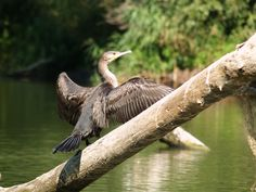 Cormorant tanning in the Danube Delta