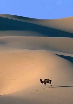 Camel in the singing dunes, Mongolia - Nathan Ward