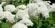 Der er hortensia, der er fremavlet til at tåle vintrene i Danmark. Det er blandt andet sorterne 'Bella' (rødlilla blomster), 'Alma' (hvide blomster), 'Clara' (blå blomster) og 'Dorthea' (lyserøde blomster).