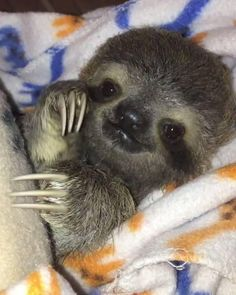 It's #InternationalSlothDay! By The Sloth Institute Costa Rica