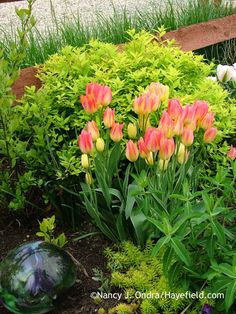 'Antoinette' tulip (Tulipa) against Limemound spirea (Spiraea x bumalda 'Monhub'); Nancy J. Ondra at Hayefield
