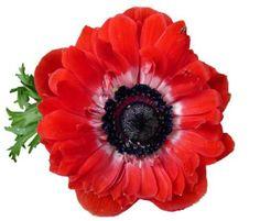 Sasanka, Červená, Květina, Bloom