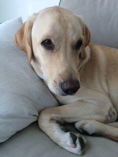 Bo Labrador Retriever (Golden) | Pawshake