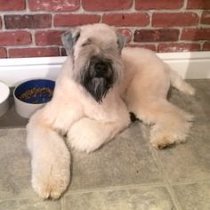 Wheaton Terrier Haircut Best Hairstyle And Ideas