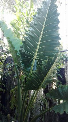 Fun And Eco-Helpful Solutions To Remodel Your Yard Alocasia Porteii Tropical House Plants, Tropical Garden, Unusual Plants, Exotic Plants, Shade Plants, Green Plants, Elephant Ear Plant, Elephant Ears, Alocasia Plant