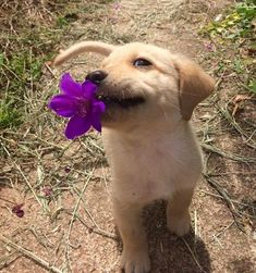 labrador retriever puppies Cutie with a flower - Puppy Care, Pet Puppy, Pomeranian Puppy, Cute Little Animals, Cute Funny Animals, Cutest Puppy Ever, Cute Dogs And Puppies, Doggies, Tiny Puppies
