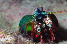 Scientists Develop Mantis Shrimp-Inspired Sensors That Can Detect Cancer | IFLScience