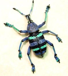Eupholus magnificus painted purple blue weevil from yapen island