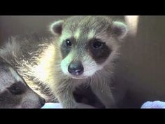 Rescuing Baby Racoons