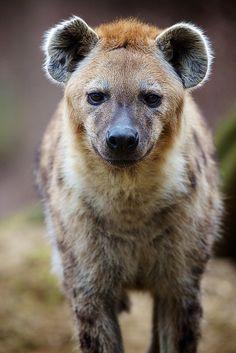 Hyena | Flickr - Photo Sharing! Animals And Pets, Baby Animals, Cute Animals, Wild Animals, Hyena Animal, Brown Hyena, Striped Hyena, Coyotes, Predator Hunting