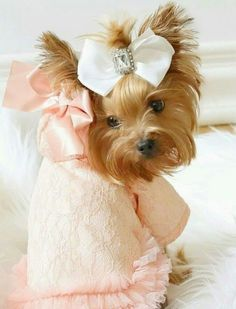 Фотография #yorkshireterrier