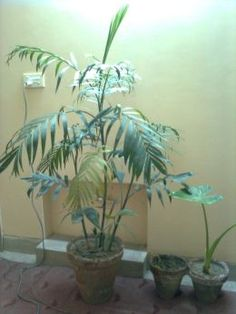 chinese evergreen indoor house plants - Google Search