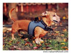 We remain fans of Dachshund Delights' hug-a-dog harnesses.  So much so that we have 6!  http://wp.me/p27Fw1-xI #dachshund #doxies #hugadogharnesses