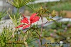 Hibiscus coccineus  Una pianta palustre dai fiori giganti.  A marsh plant with giant flowers.