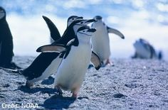 World Penguin Day! Take Action on World Penguin Day!  World Penguin Day! FacebookTwitter   This October, two dozen countries and the European Union will decide the fate of some of the most important penguin habitat on Earth. The Commission for the Conservation of Antarctic Marine Living Resources, or CCAMLR, could create the world's largest marine reserves in the Ross Sea and the waters off East Antarctica.