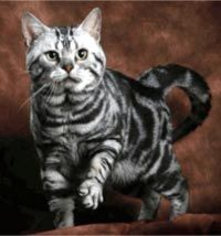 American Shorthair Cat Breed - #americancurl #catbreeds #typesofcats - More Cat Breeds at Catsincare.com!