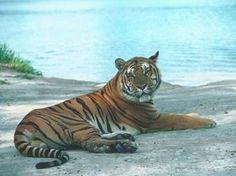 tigre - MySearch