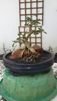 Ficus root over rock potted up 2017