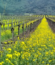 Mustard cover crop in a vineyard, CA USA photo by Jack Kelly Clark