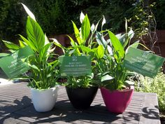 Peace Lilies waiting to go to our local media