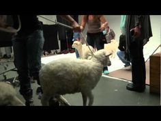 It is a Christmas video - but it is sheep!  :)  This is just adorable - take a moment to watch.