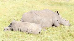 Sleeping Rhino - The Rhinoceros - Rhinocerotidae Sleeping Rhino - A rhinoceros, often abbreviated to rhino, is one of any five extant species of odd-toed ungulates in the family Rhinocerotidae, as well as any of the numerous extinct species. Rhinoceros, Hippopotamus, Extinct, Game, Animals, Rhinos, Animales, Animaux, Gaming