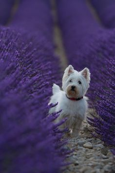 Westie in purple by Dong  on 500px