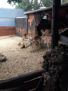 Rancho Texas Deer