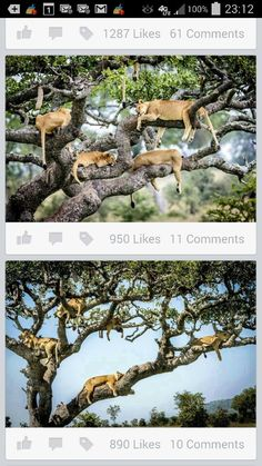 Trees of lions