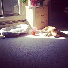 Nothin like sunbathing in the morning #dogsofinstagram #dogstagram #doggyworld #doglife #rescuedog #petsofinsta #jackrussellterrier #dachshund #instadog #terrierlife #jackrussellsofinstagram #muttsofinstagram #rescuenation #doglovers #ootd #dawg #insta #selfie #dogsoftheyear #littledog #mutt #smalldogs #cutedogs #doggy #dogsaremytherapy #dogobsessed #petoftheday #dogtag #weelife #followme  by tobi_jackrussell  http://bit.ly/teacupdogshq
