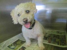 South LA Tara (A1500025) is an Adorable, 9 yr old, 14 lb, White, Poodle that came to the shelter on August 10th as a Stray.  is also blind! S.http://www.petharbor.com/pet.asp?uaid=LACT3.A1500025 —