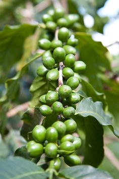Jamaican Blue Mounta