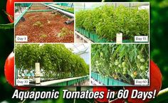 Aquaponic Tomatoes in 60 Days!