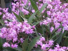 Dendrobium kingianum - the hardy Australian garden orchid grows well in rocky crevices outdoors with gravel and bark, blooming fragrantly in late winter and spring. They can also grow mounted on tree bark, indoors or out.