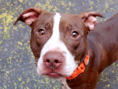Manhattan Center HAMMERHEAD – A1039410 MALE, BROWN / WHITE, PIT BULL MIX, 2 yrs SEIZED – ONHOLDHERE, HOLD FOR EVICTION Reason OWN EVICT Intake condition UNSPECIFIE Intake Date 06/08/2015
