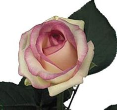 Information about Wholesale cut Dolce Vita Roses. Advice on buying wholesale Dolce Vita Roses for UK delivery - Dolce Vita roses are perfect for florists & DIY Wedding Flowers. Wholesale Roses, Rose Varieties, Florist Supplies, Diy Wedding Flowers, Cut Flowers, Pink Roses, Pink White, Pretty, Plants