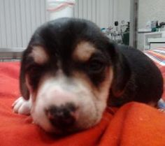 Thunder: Male Beagle, available for adoption 3/30/13. For more information, please visit wishbonecaninerescue.org