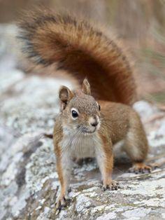 American Red Squirrel (Red Squirrel) (Spruce Squirrel) (Tamiasciurus Hudsonicus), Custer State Park Photographic Print by James Hager at Art.com