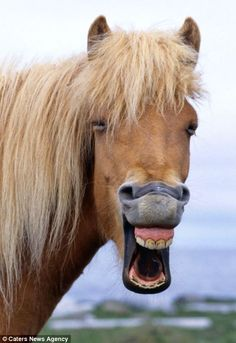 brown horse smiling pics These horses are laughing better than me and you Horse Smiling, Smiling Animals, Happy Animals, Funny Animals, Cute Animals, Laughing Horse, Laughing Animals, Horse Pictures, Funny Animal Pictures