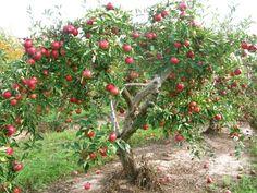 mcintosh apple tree - Google Search