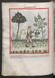 Cod. Ser. n. 2644, fol. 61v: Tacuinum sanitatis: Lac coagulatum