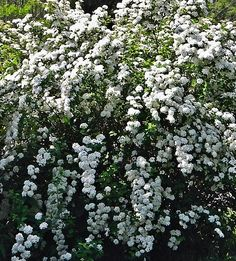 Spirea - fabulous in the Spring with Lilac
