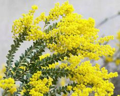 Acacia Mimosa, Le Mimosa, Palmiers, Plantation, Couture, Inspiration, Shrub, Plant, Nice Flower