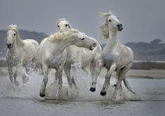 Camargue Horses by Paul Keates on 500px