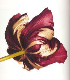 Cottage Tulip, Irving Penn